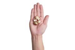 Prawe ręki trzyma macadamia dokrętki Obraz Royalty Free