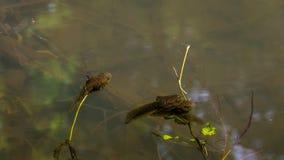 Prawie żaba Zdjęcia Royalty Free