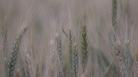 Prawie dojrzały pszeniczny ucho zakończenie w kiwania polu zdjęcie wideo