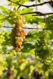 Prawie dojrzali winogrona z zielonymi liśćmi na winogradzie. świeże owoc Zdjęcia Stock