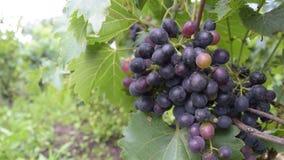 Prawie dojrzewa organicznie winogrona, rozprutego, obwieszenie od winorośli z zielonymi liśćmi w tle - zbiory wideo
