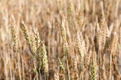 Prawie dorośleć pszenicznego pola zbliżenie Fotografia Stock