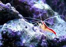 Prawn. Alive prawn in sea aquarium Stock Photography