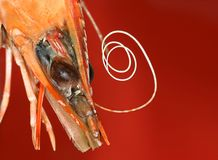 Prawn. Tasty prawn,shrimp. close-up image on the red background stock photography