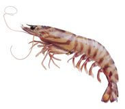Prawn Royalty Free Stock Images