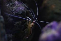 Prawn. A colourful prawn walking about on the rock stock photos