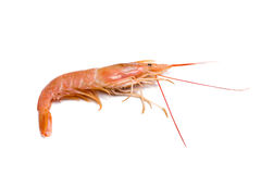 Prawn Isolated Stock Photo