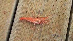 Prawn. Northwest red prawn royalty free stock image