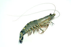 Prawn. Penaeus monodon, the giant tiger prawn or Asian tiger shrimp(and also known by other common names), is a marine crustacean that is widely reared for food Stock Images
