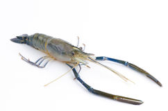 Prawn, River Shrimp common. Stock Images