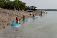 Prawn seed collection in Sunderban. A group of women dragging nylon nets to collect tiger prawn seed on the river 'Matla'. The Major problem threatening the Royalty Free Stock Photos