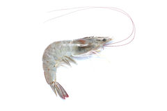 Prawn shrimp Stock Images