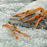 Prawns on crushed ice, close-up Stock Photo