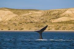 Prawy wieloryb, Patagonia, Argentyna Fotografia Royalty Free