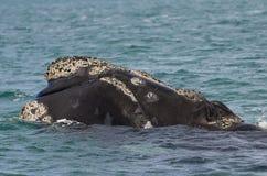 Prawy wieloryb, Patagonia, Argentyna Zdjęcie Royalty Free
