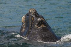 Prawy wieloryb, Patagonia, Argentyna Zdjęcia Royalty Free