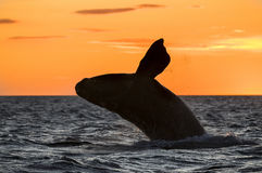 Prawy wieloryb, Patagonia, Argentyna Zdjęcie Stock