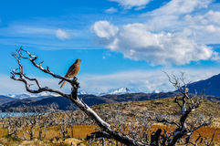 Pray bird in Parque Nacional Torres del Paine, Chile Royalty Free Stock Photos