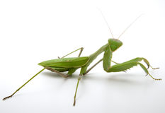 Pray mantis. Looking at camera isolated on white Stock Images