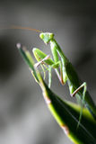 Pray Mantis Stock Images