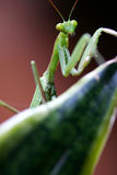 Pray Mantis Royalty Free Stock Photos