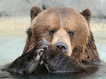 Praying bear Royalty Free Stock Photo