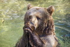 Praying bear Royalty Free Stock Photography