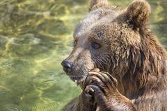 Praying bear. A bear praying close up Royalty Free Stock Images