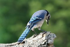 Praying blue jay Royalty Free Stock Photography