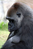 Praying Gorilla Stock Image