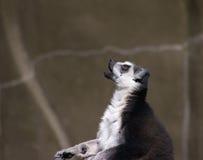 Praying Lemur. A lemur looking as if he is praying Stock Image