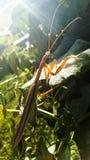Praying Mantas. On a grape vine with sunlight stock image