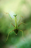 Praying Mantids Stock Photography