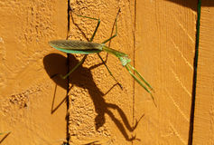 Praying Mantids and his shadow Stock Photos