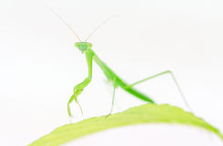Praying mantiis on leaf Royalty Free Stock Images