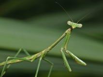 Praying Mantis 1. Praying Mantis watching me watch him Stock Photo
