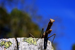 Praying mantis. Closeup of Praying Mantis perched on a weathered wooden post. Order: Mantodea Royalty Free Stock Photography