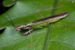 A praying mantis Stock Photo