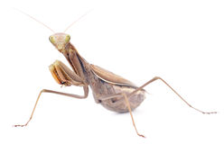 Praying mantis Stock Photo