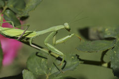Praying Mantis. On pink rose bush Royalty Free Stock Photography