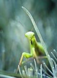 Praying mantis. Close up of praying mantis on green plant royalty free stock photo