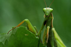 Praying mantis. Portrait of a praying mantis (Mantis religiosa Royalty Free Stock Photography