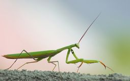 Praying Mantis. Looking for food Stock Photography