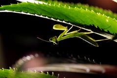 Praying Mantis Stock Photography