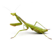Praying Mantis. Isolated on a white background Royalty Free Stock Images
