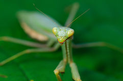 Praying mantis. European praying mantis (mantis religiosa) close up Stock Photos
