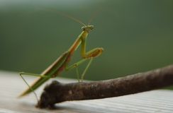 Praying Mantis 2. Praying Mantis sitting on a stick royalty free stock photography