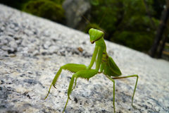 Praying Mantis. Close up of a praying mantis in Japan, walking on stone against a blurred background towards the viewer Stock Image