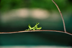 Praying mantis. Green praying mantis sticking to dry stem Royalty Free Stock Images