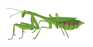 Praying Mantis. Illustration of Praying Mantis on isolated background Royalty Free Stock Photos